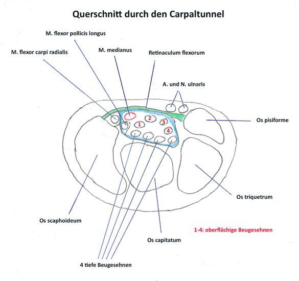 carpaltunnel querschnitt diagram